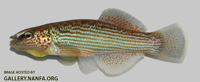 Fundulus catenatus Northern Studfish  6