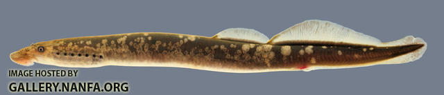 Lampetra aepyptera Least Brook Lamprey Collins trib Warren county Specimen #3