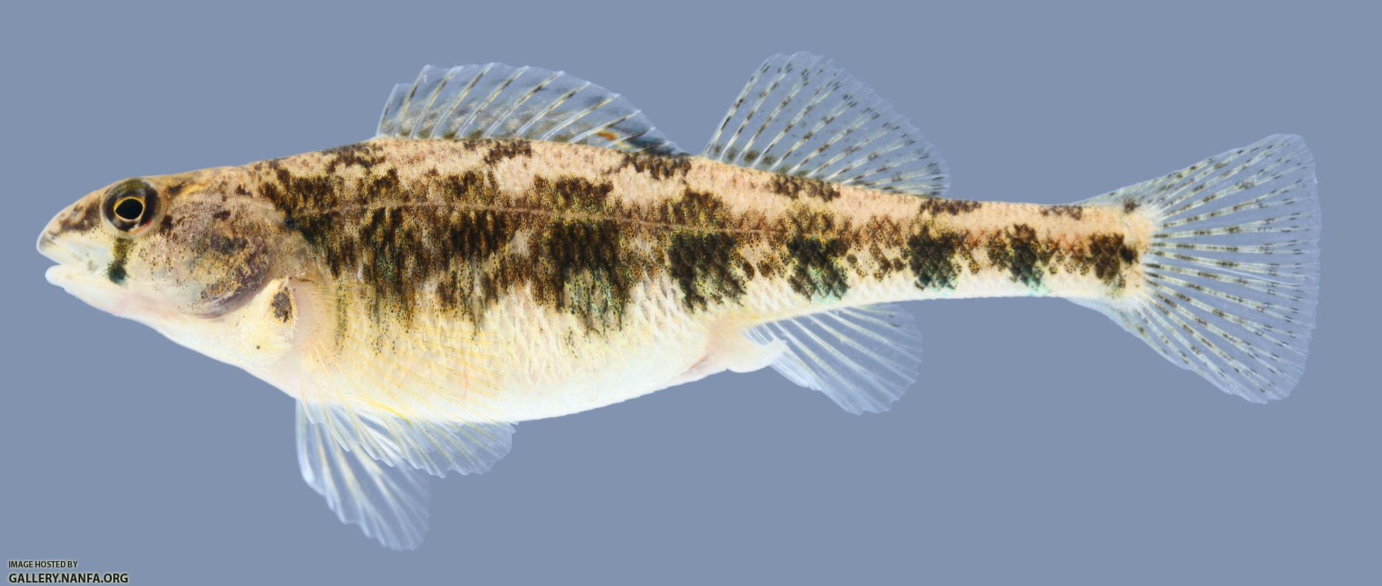 Etheostoma luteovinctum Redband Darter Female 2000