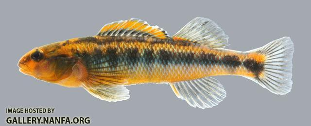 Percina roanoka  Roanoke Darter