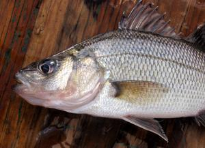 White Perch