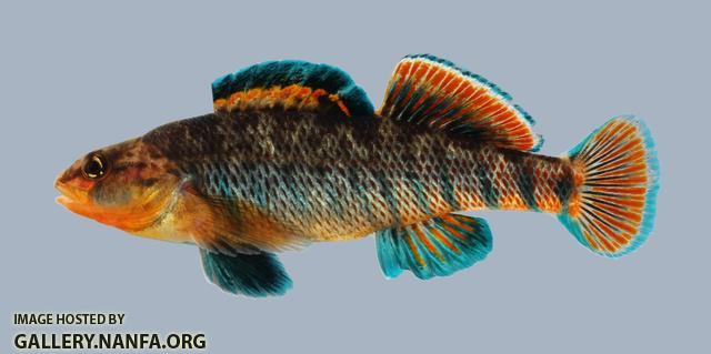 Etheostoma caeruleum Rainbow Darter 351-3000
