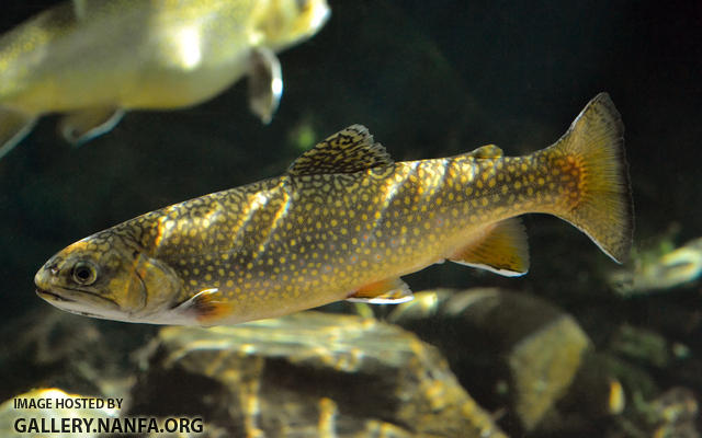 adult brook trout