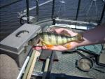 Yellow Perch5