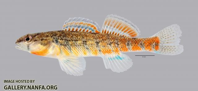 Etheostoma uniporum Current Darter 1091ws