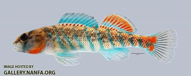 Etheostoma uniporum Current Darter 4020ws