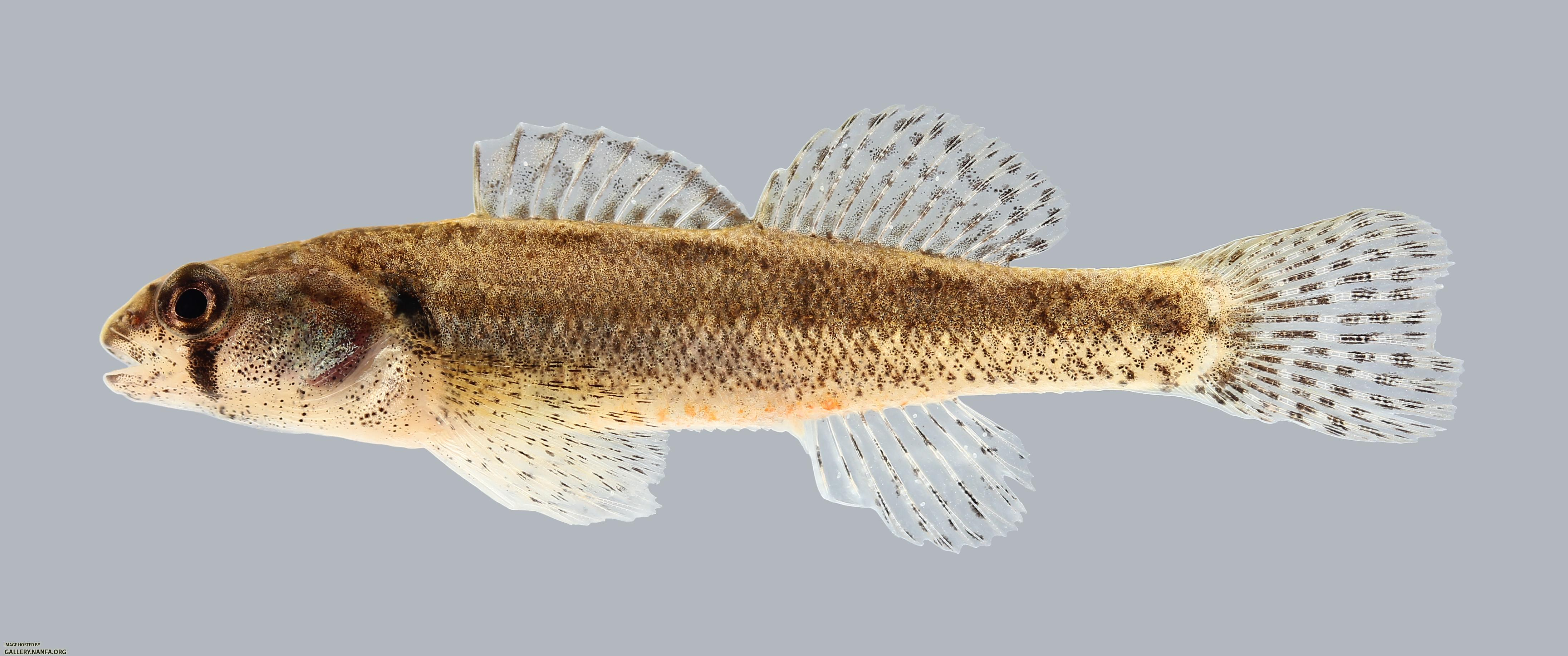 Etheostoma cragini Arkansas Darter 1368