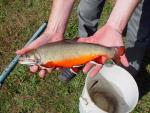 Brook Trout - Salvelinus fontinalis